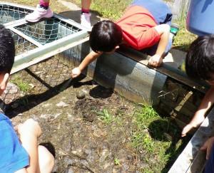 コンクリート水槽に落ちてしまったアズマヒキガエルの子どもたちをレスキュー